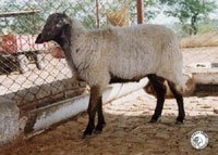 Deccani sheep