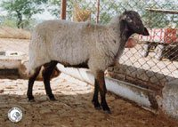 A Deccani sheep